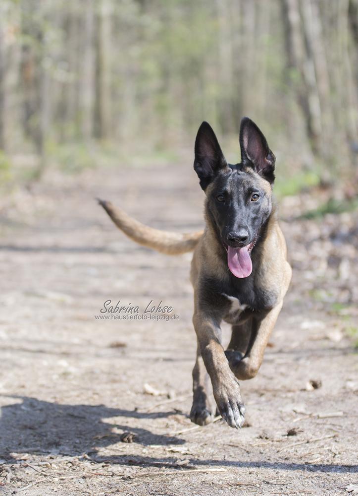 Sabrina Lohse Tierfotografie Portfolio  und Deutscher Schäferhund