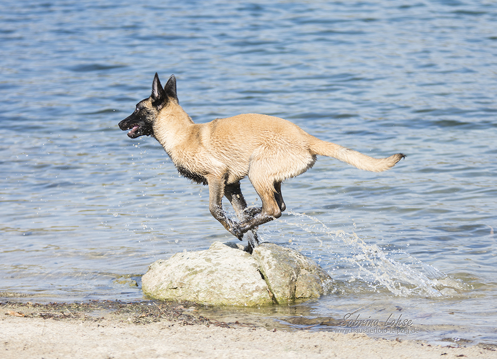 Sabrina Lohse Tierfotografie Portfolio Hunde Deutscher Schäferhund