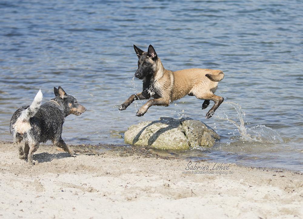 Sabrina Lohse Tierfotografie Portfolio Hunde Australian Cattle Dog und Deutscher Schäferhund