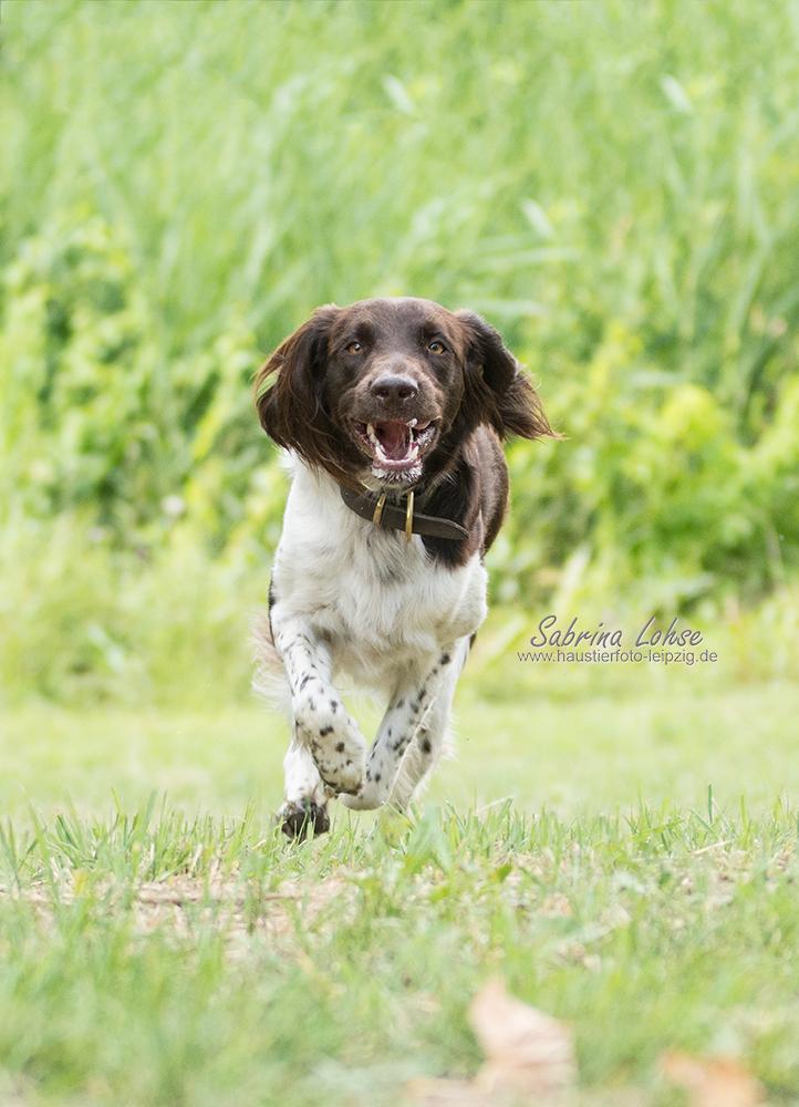 Sabrina Lohse Tierfotografie Portfolio Hunde Kleiner Münsterländer Buddy