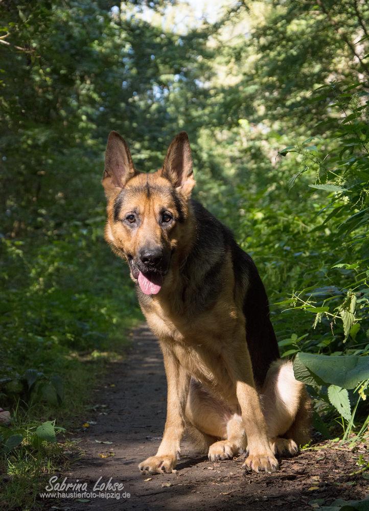 Sabrina Lohse Tierfotografie Portfolio Hunde  Deutscher Schäferhund Rex