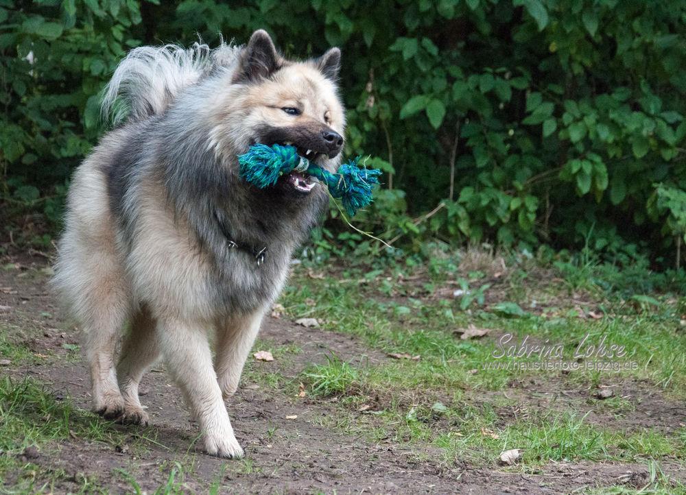 Sabrina Lohse Tierfotografie Portfolio Hunde Eurasier Eurasier Puschkin (2)