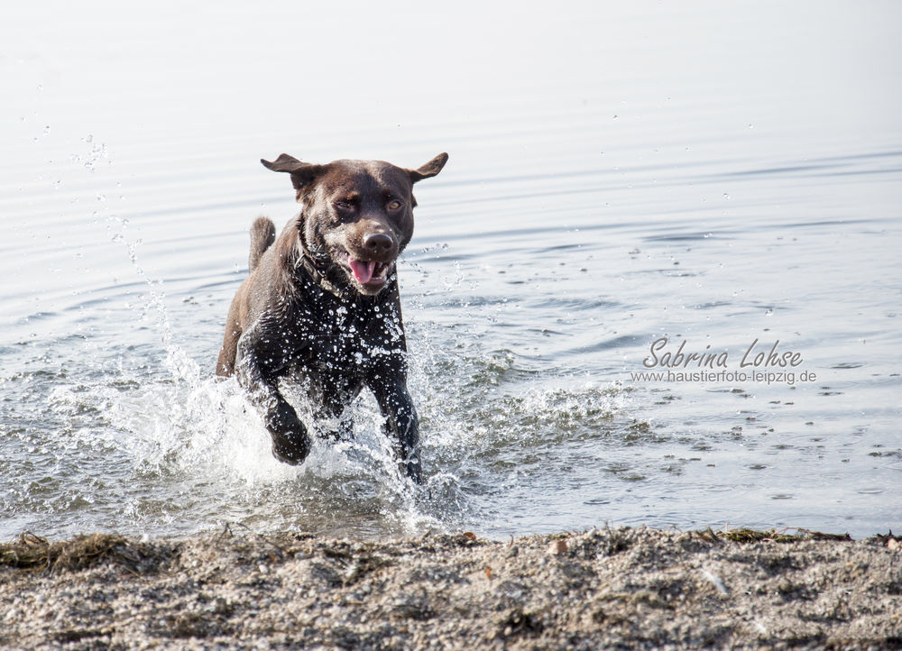 Sabrina Lohse Tierfotografie Portfolio Hunde Labrador yoster (2)