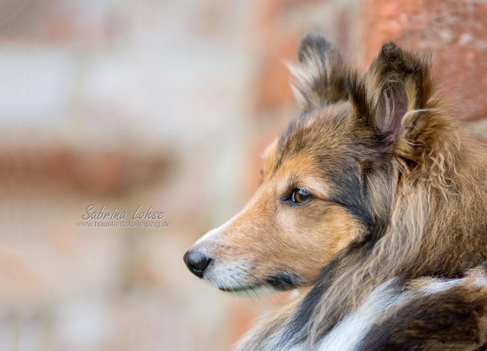 Sabrina Lohse Tierfotografie Portfolio Hunde Sheltie Ayleen (2)