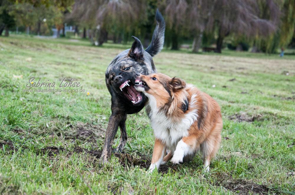 Sabrina Lohse Tierfotografie Portfolio Hunde Sheltie Ayleen und Misching Abby