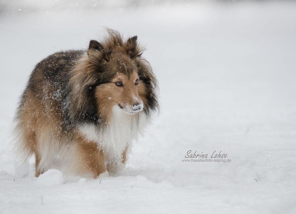 Sabrina Lohse Tierfotografie Portfolio Hunde Sheltie Ayleen