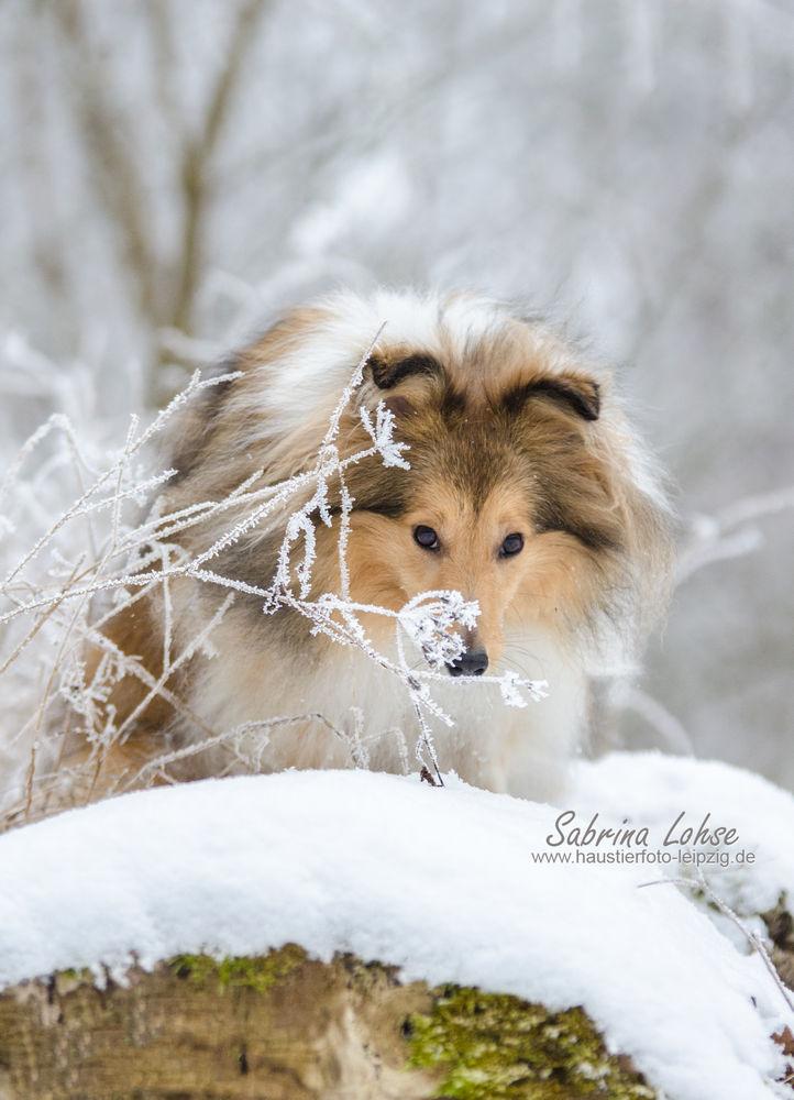 Sabrina Lohse Tierfotografie Portfolio Hunde  Sheltie Romy