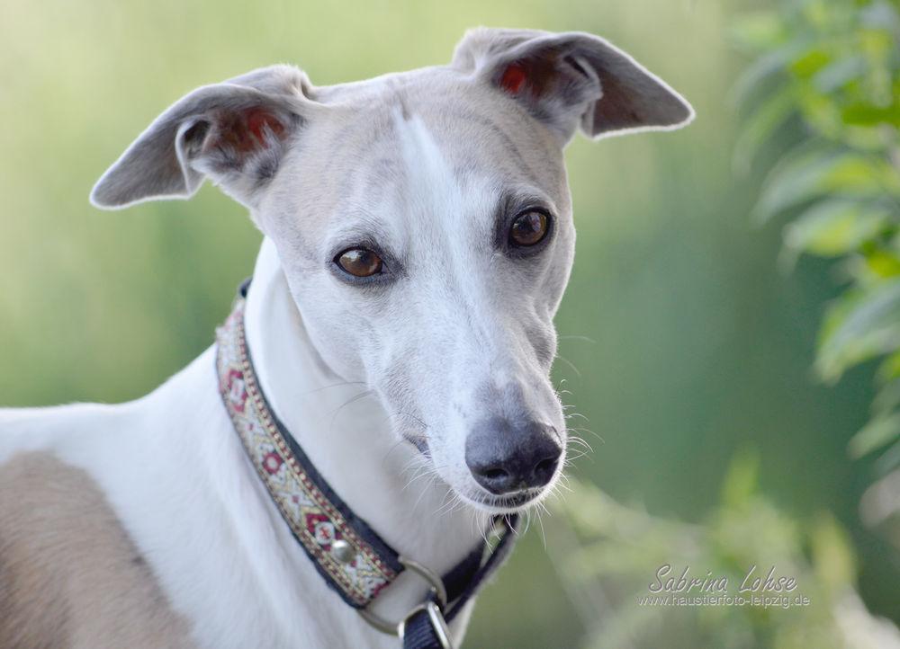 Sabrina Lohse Tierfotografie Portfolio Hunde Whipett Einstein