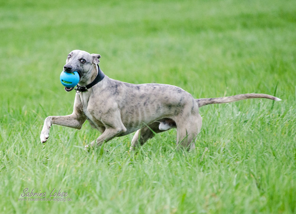 Sabrina Lohse Tierfotografie Portfolio Hunde  Whipettrüde
