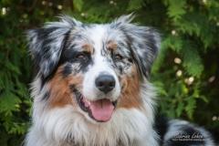 SSabrina Lohse Tierfotografie Portfolio Hunde Australien Shepard Maddox (2)
