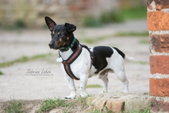 Sabrina Lohse Tierfotografie Portfolio Hunde Jack Russel Paul (2)