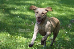 Sabrina Lohse Tierfotografie Portfolio Hunde Labrador Amy (2)