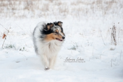 Sabrina Lohse Tierfotografie Portfolio Hunde Sheltie Dusty