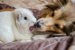 Sabrina Lohse Tierfotografie Portfolio Hunde Sheltie Romy und Meerschweinchen Louis