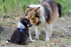Sabrina Lohse Tierfotografie Portfolio Hunde Shelties Caroline und Fridolin vom Koschenberg