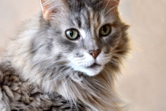 Sabrina Lohse Tierfotografie Portfolio Katzen  Norwegische Waldkatze Neele Norwegische Waldkatze Naila