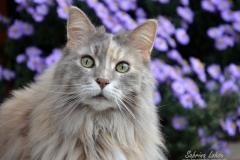 Sabrina Lohse Tierfotografie Portfolio Katzen  Norwegische Waldkatze Neele