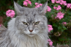 Sabrina Lohse Tierfotografie Portfolio Katzen  Norwegische Waldkatze Naila