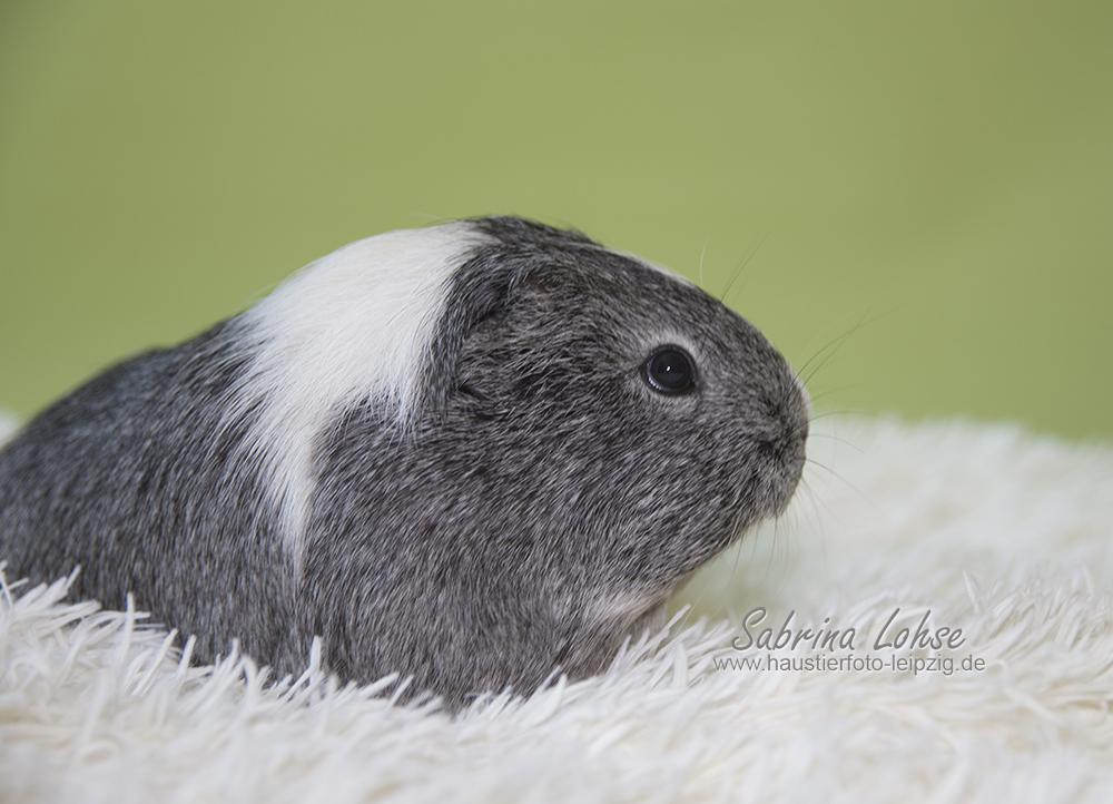 _Sabrina Lohse Tierfotografie Portfolio Nager Meerschweinchen