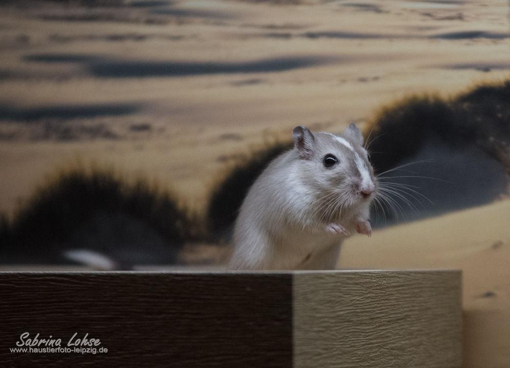 Sabrina Lohse Tierfotografie Portfolio Nager Mongolische Rennmaus Pepper