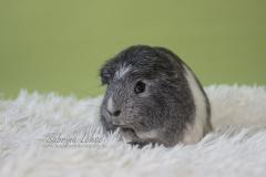 Sabrina Lohse Tierfotografie Portfolio Nager Meerschweinchen
