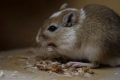 Sabrina Lohse Tierfotografie Portfolio Nager Mongolische Rennmaus Flo