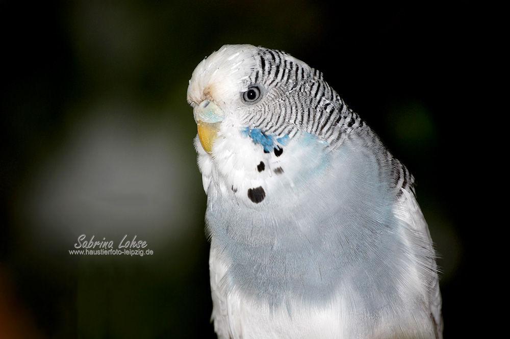 Sabrina Lohse Tierfotografie Portfolio Vögel Wellensittich Susi