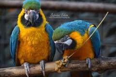 Sabrina Lohse Tierfotografie Portfolio Vögel Gelbbrustaras Mozart und Amadeus