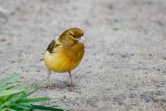 Sabrina Lohse Tierfotografie Portfolio Vögel Kanarienvogel Hansi